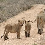 Female lion & cubs