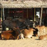 Cows on Candolim beach