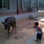 Kid trying to feed a gaur calf in the premises