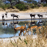 Impala at a water hole in front of lodge