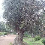 A very old Olive tree!