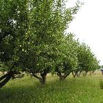  Summer Golden Delicious Orchard