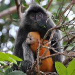 Silver Langur mother and baby seen from Cafe