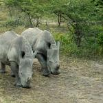  The 2 baby Rhinos