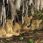 3 month old cubs, sheltered from the rain