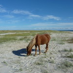 Pony grazing on sea oats on Shackleford Banks