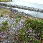 Wild flowers dot the shoreline of Shackleford Banks