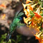 One of the numerous hummingbirds in Finca Lerida's grounds