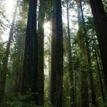 Armstrong Redwoods State Reserve--In Guernville about 5 miles from the house