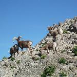 Bighorn sheep, Living Desert