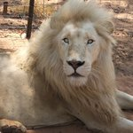 Mama Tau White Lions Breeding Project