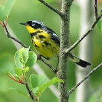 Magnolia Warbler MDI 2010