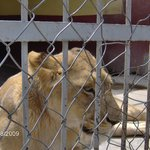 Lion Zoo