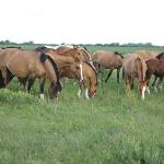  Caballos criollos de la estancia