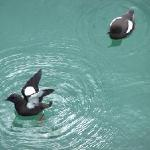 Portpatrick Harbour - Black Guillemots