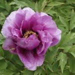  Tree Peony