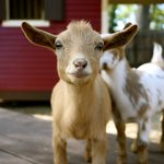 The Social Goat Bed & Breakfast