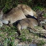 The friendly neighbourhood kangaroos