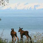 Moose calves checking out the view on the front lawn