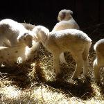 Newborn lambs in the barn