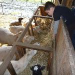 Children get to help feed the sheep