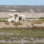 Mum and Cubs Hudson Bay shoreline August 2010