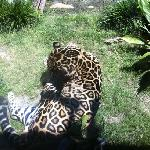 Panther onca - Jaguar