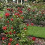  Napier Rose Gardens - just down the road