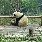 Chilled out (or maybe bored) panda a the Chengdu Panda Research Centre