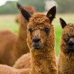  Alpacas