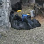 Gorillas are a bit hit there