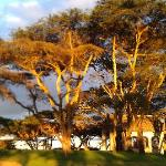 Acacias on the golf course