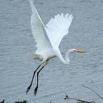 Great Egret Photo by Jack Labor