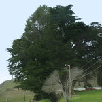 Brookings - Oregon's largest Monterey Cypress, easy access via old Hwy 101