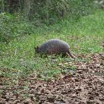 Keep an eye out for armadillos!