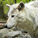 Lakota Wolf Preserve