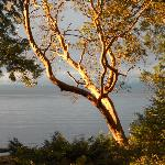 Setting sun on the arbutus.