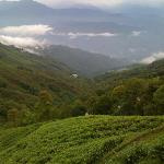 Tea Garden near Tathagata Farm