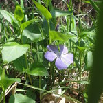 Wild Periwinkle along the trail.