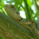 Beautiful lizard in a tree Near the pool.