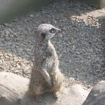  Meercat