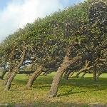 Wind shaped oak trees