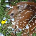  Newborn fawn in the Hummingbird Inn garden - Momma took him away before the next day