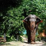 The Resident Elephant - She is Jaitara