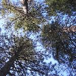 Pine trees aloft