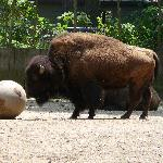  Buffalo Salisbury Zoo 2011