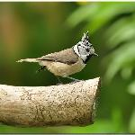 Crested Tit in hotel garden