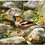 Hawfinch in the gardens water feature