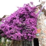 Bourgainvillea in Grimaud