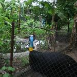 depressed cassowary